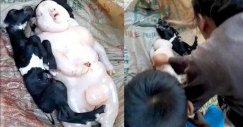 Коза на Филиппинах родила гибрида человека и свиньи
