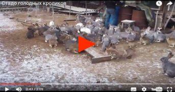 Стадо голодных кроликов налетает на еду