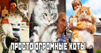 12 фото просто огромных котов