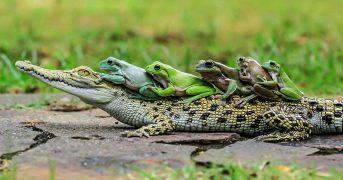 Крокодил везет лягушек на себе, удивительные фото